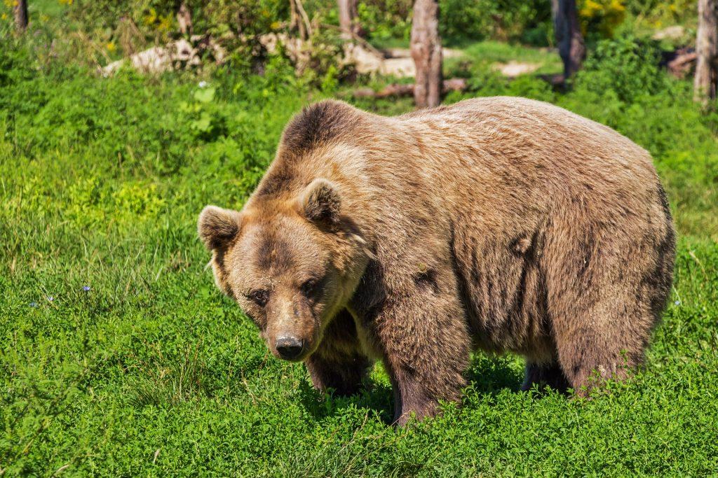 Brunbjörn - internationellt fridlyst, Ånge kommun
